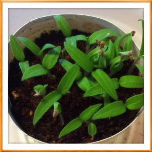 プチトマトの芽©摂理hiroko