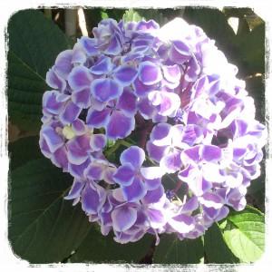 紫陽花@摂理hiroko