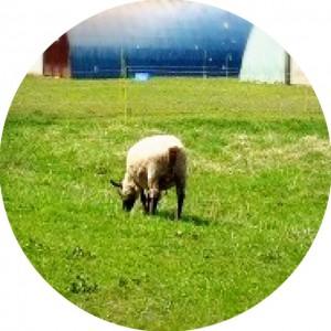 北海道大学羊